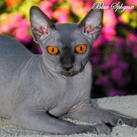 Beautiful Sphynx Kittens