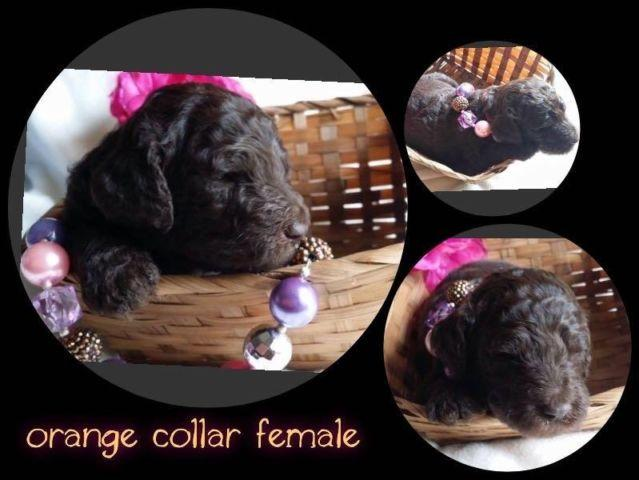 Beautiful standard poodle puppies. Reserve before they