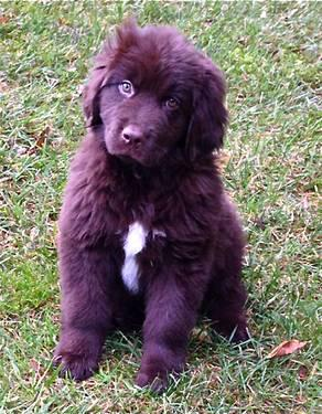 Newfoundland Puppy Pets And Animals For Sale In Washington Puppy