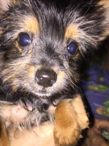 Beautiful Teacup Male Yorkies Available Now For Sale In Parsons