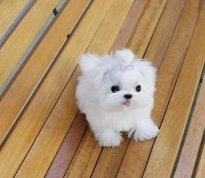 Real Teacup Dogs For Sale