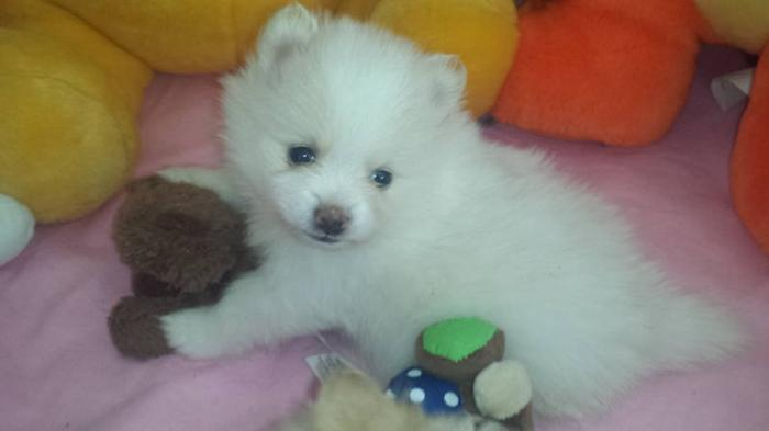 pomeranian for sale in sc beautiful teacup pomeranian puppies available for 4972