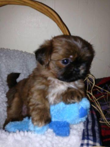 Beautiful Teacup Shorkie Puppies