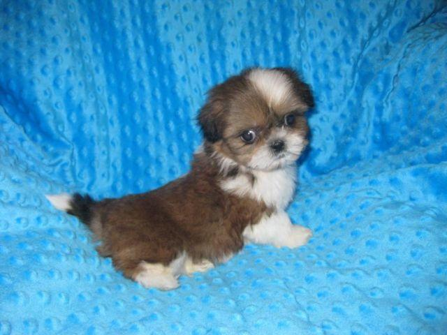 Beautiful Teacup Toy Shih Tzu Puppy Male 8 Weeks Old For Sale