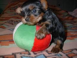 Beautiful Teacup Yorkie Pups For Sale In Cleveland Ohio Classified