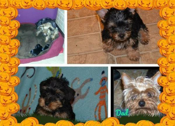 Beautiful Teacup Yorkie Pups For Sale For Sale In Alleghany