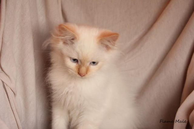 Baby Kittens For Sale Pittsburgh Zona Ilmu 2