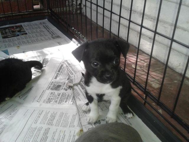 Boston Terrier Puppies For Sale In Baytown Texas Classifieds