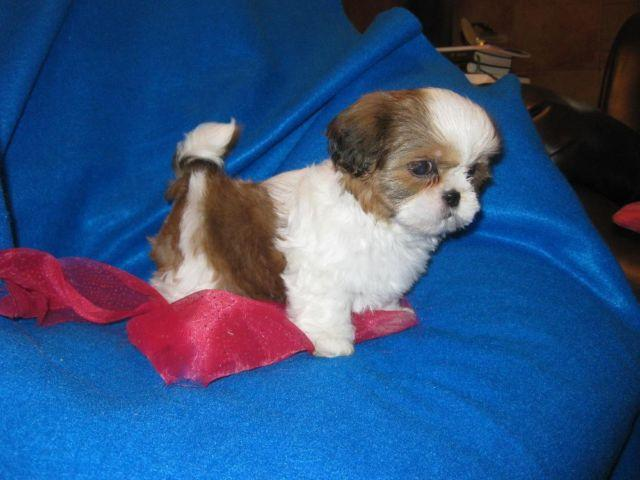Beautiful Tiny Shih Tzu Puppy Female 9 Weeks Old For