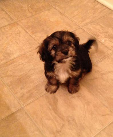 Teacup Puppies Yorkies For Sale In Austin Texas Classifieds Buy