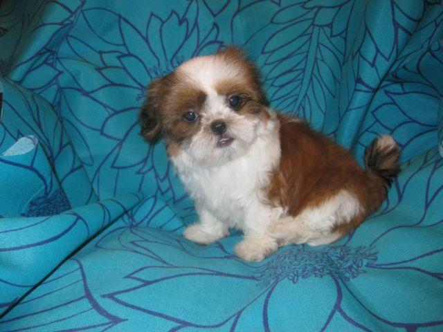 Beautiful Tiny white and brown shih tzu puppy (Female ...