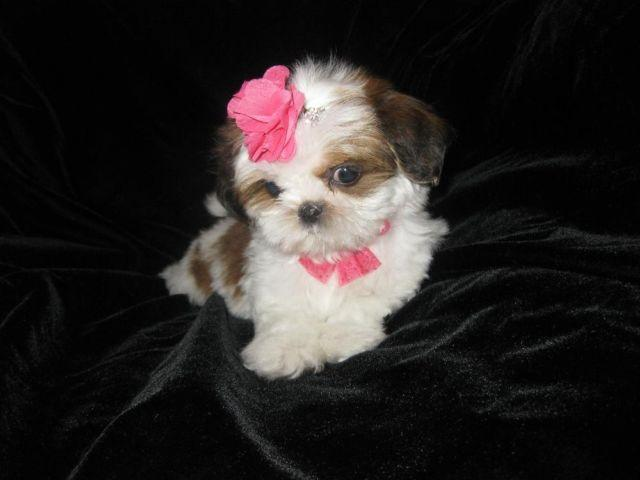 Beautiful Tiny white and brown shih tzu puppy (male)---12 ...