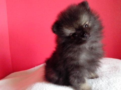 Pomeranian Mix Chihuahua Pets And Animals For Sale In Bellevue