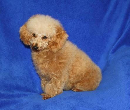 Beautiful Toy Poodle Female