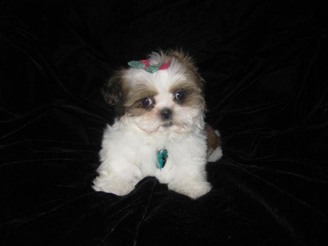 Beautiful Toy Shih Tzu Puppy Male 10 Weeks Old For Sale In Phelan