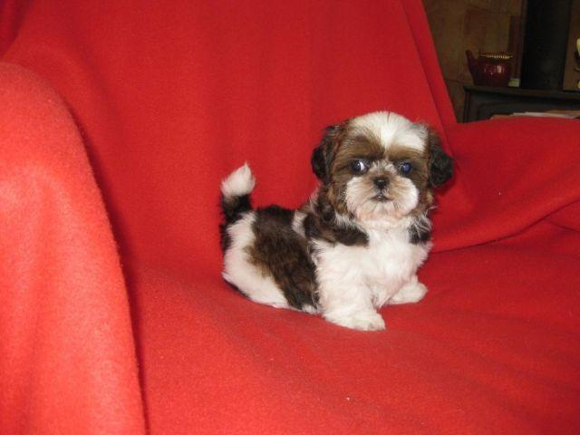 Beautiful Tri Color Imperial Shih Tzu Puppy Male 11