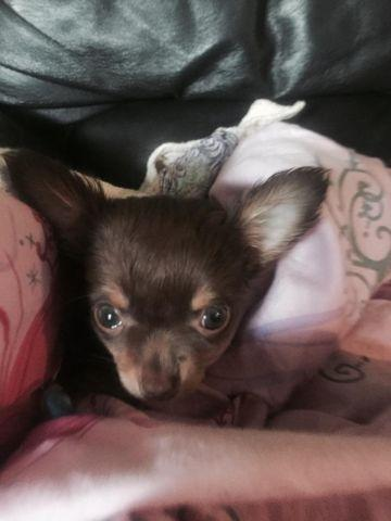 Beautiful Unique Chihuahua Puppies 8 Weeks For Sale In Denver