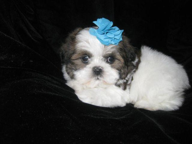 Beautiful white and brown shih tzu puppy (male)--8 weeks ...