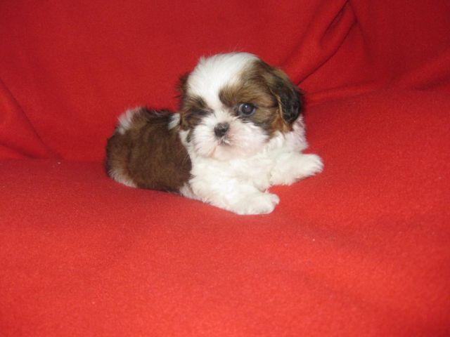 Beautiful White And Brown Toy Shih Tzu Puppy Male 10 Weeks Old