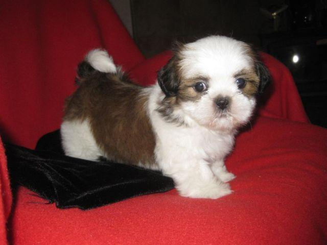 Brown White Multi Shih Tzu Pets And Animals For Sale In The Usa