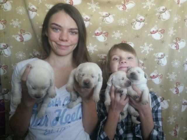 BEAUTIFUL WHITE/ CREAM ENGLISH LAB PUPPIES