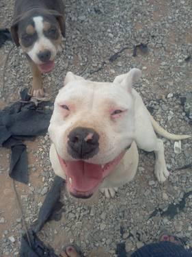 Beautiful white female blue nose Pitbull