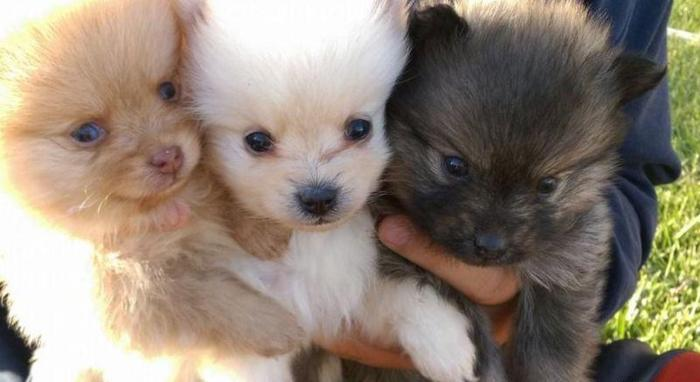 Beautiful White pomeranian Puppies Available for Sale in ...
