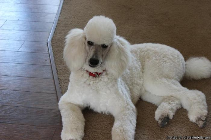 beautiful white standard poodle for stud service for sale