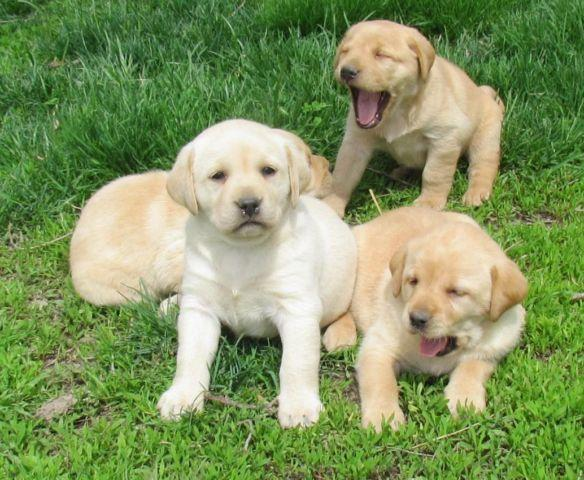 Labrador Retriever Puppies For Sale Beautiful Akc Lab Puppies Ready ...