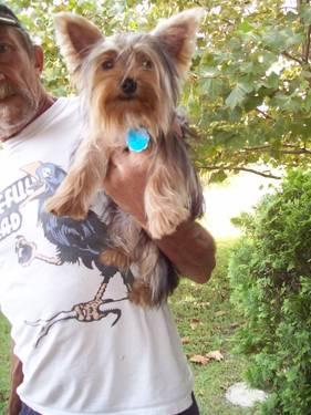 Beautiful Yorkie Girl 16 Months. Intact