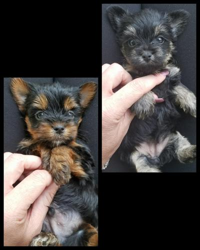 Yorkshire Terrier Puppy For