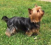Beautiful Yorkie Stud ( not for sale)