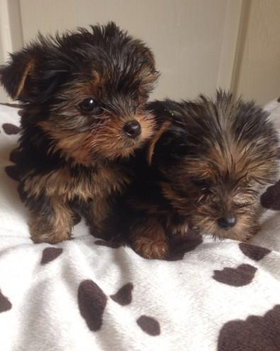 Beautiful Yorkshire Terrier Puppies For Sale For Sale In Alabaster