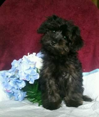 Yorkie  Puppies on Beautiful Ckc Yorkie Poo Puppies For Sale   16 Weeks Old For Sale In