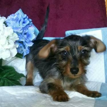 Yorkie  Puppies on Beautiful Ckc Yorkie Poo Puppy For Sale   17 Weeks Old For Sale In