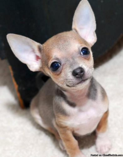 Chihuahua Puppies For Free Classifieds Buy Sell Chihuahua