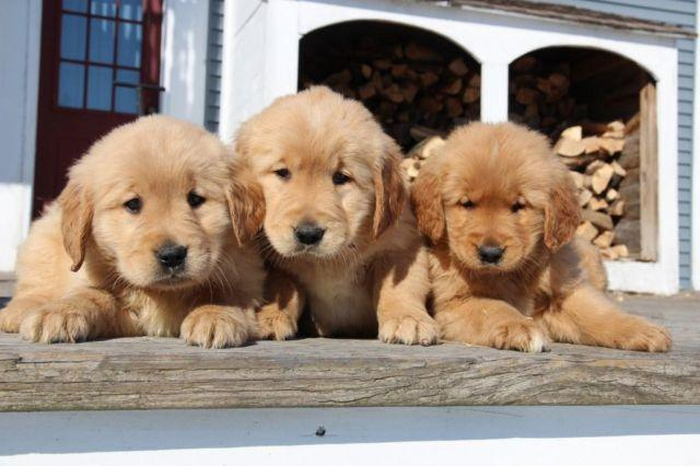 Pets And Animals For Sale In West Cornwall Vermont Puppy And