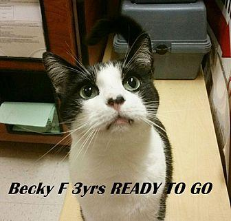 Becky Domestic Shorthair Young Female