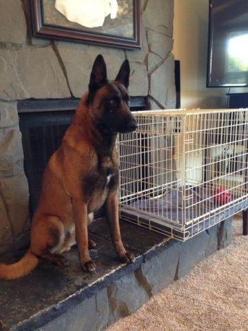 Belgian Malinois K9 Puppies For Sale In Kent