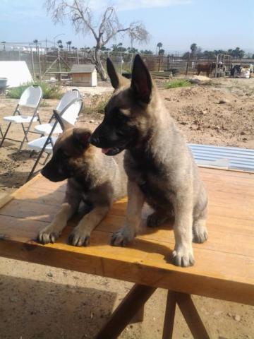 Belgian Malinois Puppies For Sale In San Diego