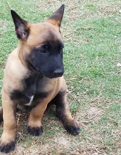 Belgian Malinois Puppy for Sale - Adoption, Rescue