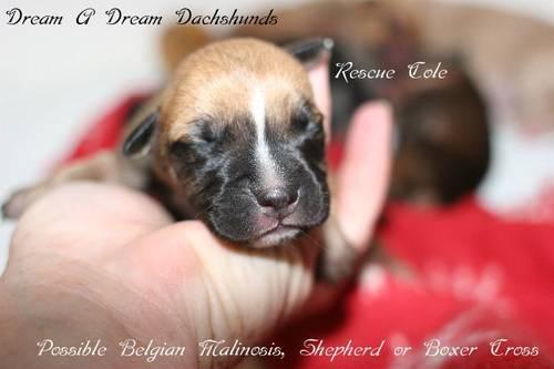 Belgin Malinois, Shepherd, or Boxer Cross Puppies (Hutto/Pflugerville)