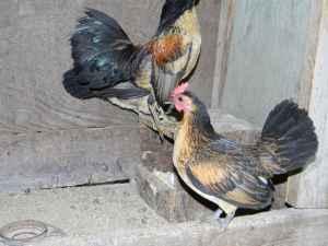 belguim quail old english game bantam chickens mount