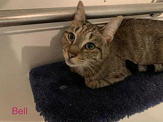 Bell Domestic Shorthair Young Female