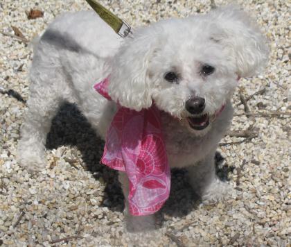 Bella Bichon Frise Adult - Adoption, Rescue for Sale in Echelon, New