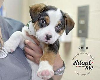 BELLA Greater Swiss Mountain Dog Puppy Female for Sale in ...