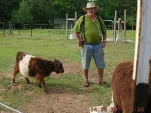 Belted Galloway For Sale In Florida Classifieds Buy And