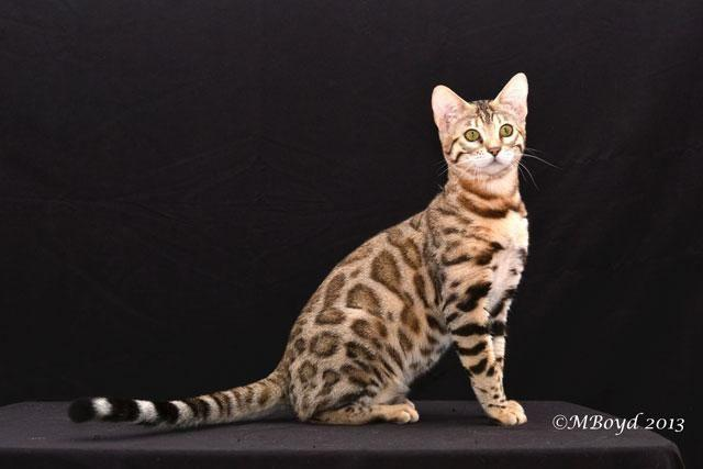 Bengal Adult Female Available