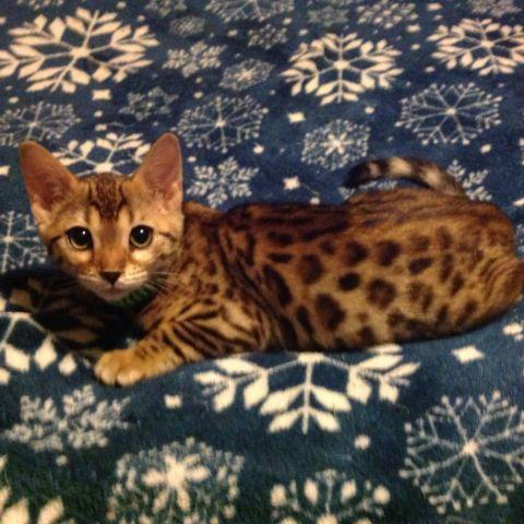 Bengal And Savannah Kittens For Sale In Waxahachie Texas