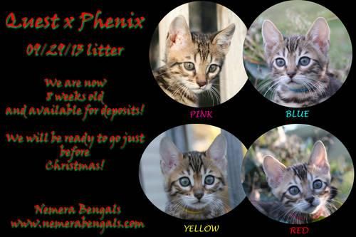 snow bengal mix kittens for sale
